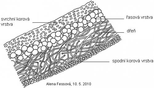 Schematický nákres řezu stélkou Xanthoria parietina