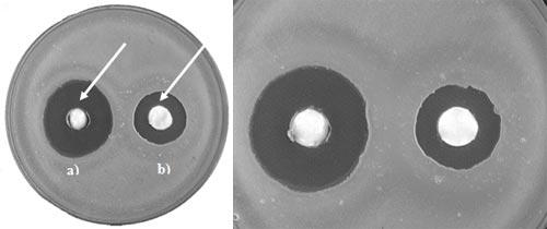 Zóny bez bakteriálního růstu (viz šipky) na Petriho misce v okolí jamek se vzorky dvou zubních past,